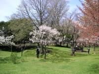 梅と桜と遠くに辛夷
