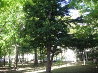 一見普通のイチイの樹