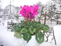 雪とシクラメン