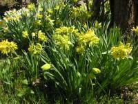 水仙: ヒガンバナ科の多年草