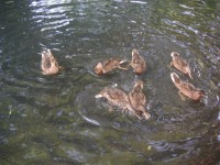 母鴨の大きさに近づいてきた子鴨