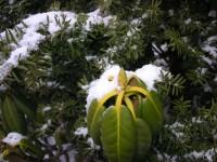 雪に震えるシャクナゲのつぼみ