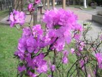 永山公園のエゾムラサキツツジ