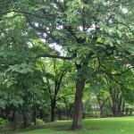 モクレン科の朴の木