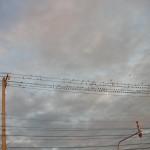 電線いっぱいに稲雀