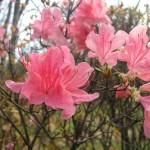 みごとなツツジの返り花