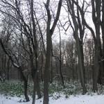 再び熊笹の現れた越冬中の植物園