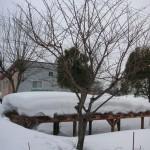 桜の木と雪埋む藤棚