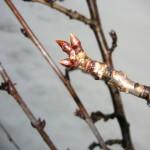 同日3/18の庭の桜の花芽