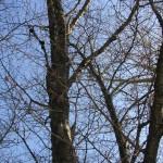 札幌の4月4日の桜の木