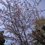 ようやく開いた庭の桜