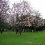 5/14 今年の桜 (札幌)