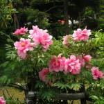 庭の満開の牡丹