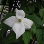 公園の山法師(やまぼうし)の花