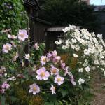 秋明菊 の門口