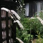 お庭のサラシナショウマ