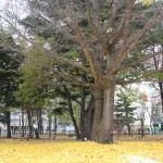 裸木になった銀杏と落葉