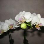 室咲きのコチョウラン