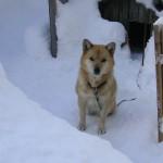 雪の中の番犬なな