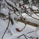 つつじの冬芽
