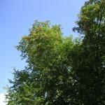 秋の空と色づき始めたナナカマド