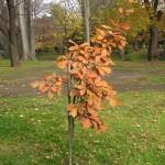 コナラの幼木