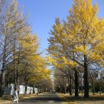 散りかけの北大いちょう並木