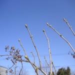 3/30 ライラックの花芽