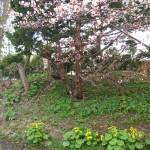 桜・ヤチブキ・エゾエンゴサク
