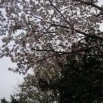 おおやさんの庭の桜 4/30