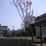 八重桜の定植完了