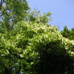 白雲木の花