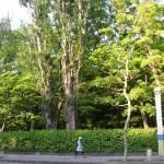 蔦の塀とポプラ