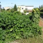 成長した大豆
