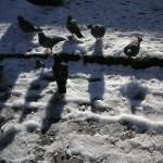 雪の上の鳩