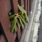 ビルの間のシャクナゲの芽