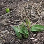 庭のチューリップの芽