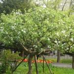りんごの木が満開