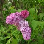 濃い紫はまだつぼみの花房