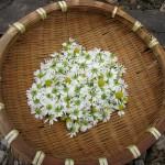 カモミールの花の採取