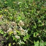 蕎麦の花後の種を採ります