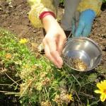 カレンデュラの種の採取