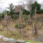 冬囲いの済んだ庭木
