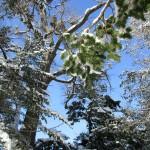 境内の松に雪