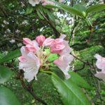 うす桃色のシャクナゲ