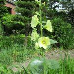 立葵は黄色が一番に