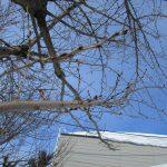 我が家の桜の木