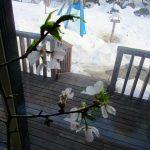 3/8 室内の桜と外の雪