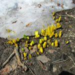 残雪の間から水仙の芽