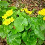 蝦夷の立金花